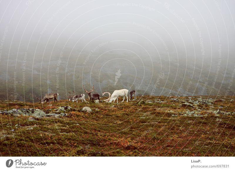 Hallo weißer Rudi! Umwelt Natur Landschaft Erde schlechtes Wetter Gras Moos Fjäll Skandinavien Lappland Finnland Europa Nordeuropa Menschenleer Tier Rentier