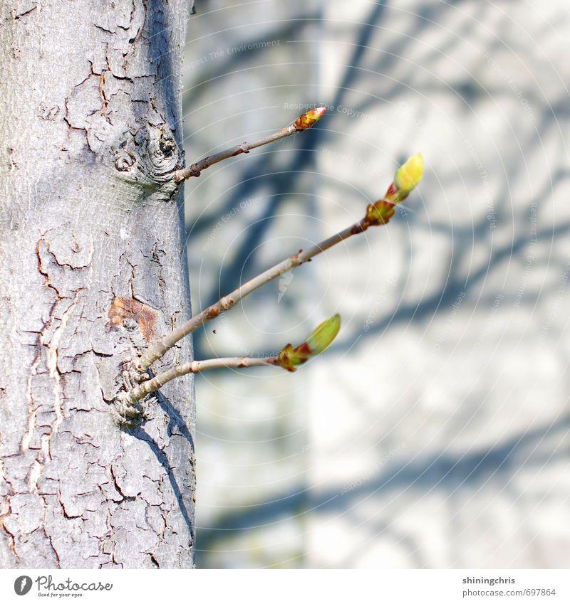 geäst Umwelt Natur Schönes Wetter Baum Blütenknospen Kastanienbaum Garten Mauer Wand Blühend gelb grau grün Schatten Schattenspiel Farbfoto Gedeckte Farben