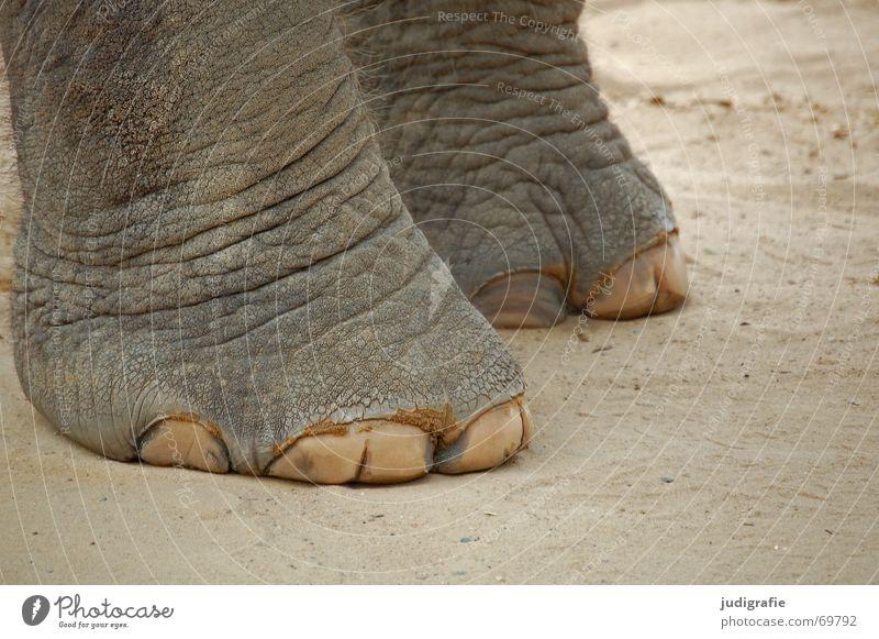 Bodenständig Tier grau Fuß Sand Haut groß Bodenbelag Asien niedlich Falte Säugetier Riss Elefant schwer