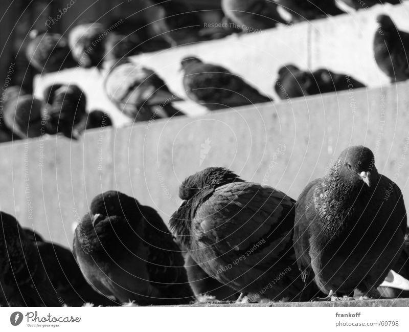 Flugratten Tier Europa Mailand dreckig Taube Vogel Außenaufnahme flugratten Schwarzweißfoto Erholung drecksviecher Treppe unsympathie Makroaufnahme