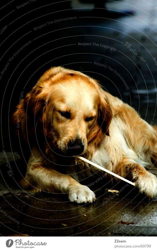 spiel mit dem stöckchen.... Tier Spielen Hund gold süß liegen Fell Freundlichkeit Stock Pfote Golden Retriever