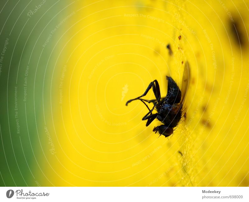 Die fliegende Klette grün Tier schwarz gelb grau Beine dreckig elegant Fliege Flügel festhalten Fell sportlich fangen bewegungslos hängen