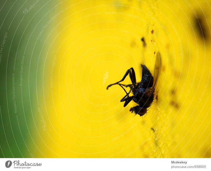 Die fliegende Klette Tier Totes Tier Fliege 1 festhalten hängen sportlich dreckig Ekel elegant hässlich gelb grau grün schwarz erstarren kleben Klebstoff