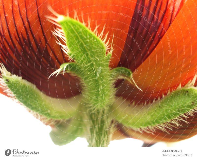 Schau nur, wie der der Mohn scheint! Blume grün rot Blüte stachelig Makroaufnahme