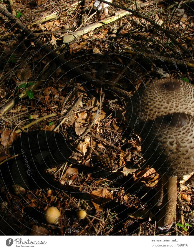 ich bleib bei dir. Pilz Freundschaft Paar Partner Pflanze Tier Wald außergewöhnlich groß klein lecker braun Zusammenhalt beige Lebewesen essbar Gift finden
