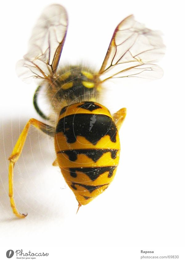 Ich zeig dir mein Hinterteil! Part II Tier Insekt Sechsfüßer Wespen schwarz gelb gestreift Biene klein Bewegung Fühler Hautflügler abdomen Flügel fliegen