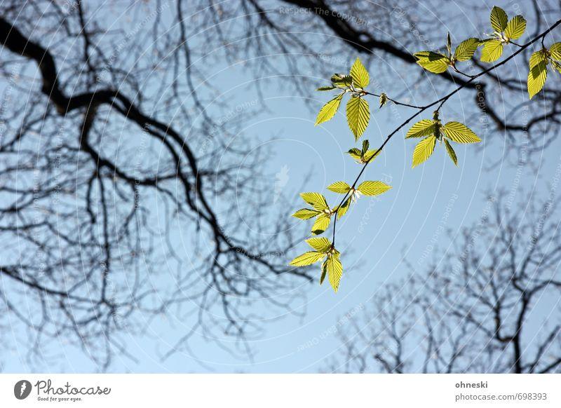 Hoffnungsschimmer Tier Himmel Frühling Baum Blatt Ast Zweige u. Äste Buche grün Optimismus Leben Farbfoto Außenaufnahme Textfreiraum unten Tag Sonnenlicht