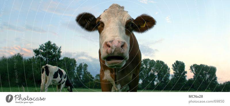Kuh-Panorama Himmel Wiese Feld groß Ohr Kuh Tier Panorama (Bildformat) Schnauze
