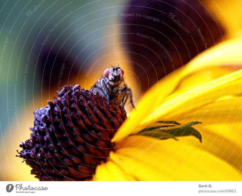 it's a fly Insekt Erholung schlafen Blume Tier gelb Blüte Blütenblatt Sonnenhut Fliege Blütenknospen Natur hintergrundunschärfe fliegen