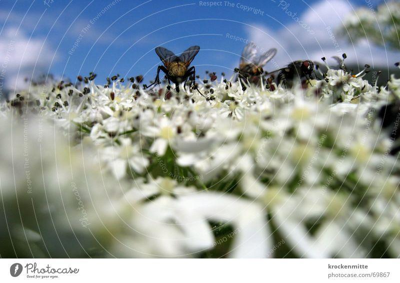 blütenbesuch Blume Pflanze Sommer Blüte Fliege Insekt Sammlung rechnen bestäuben