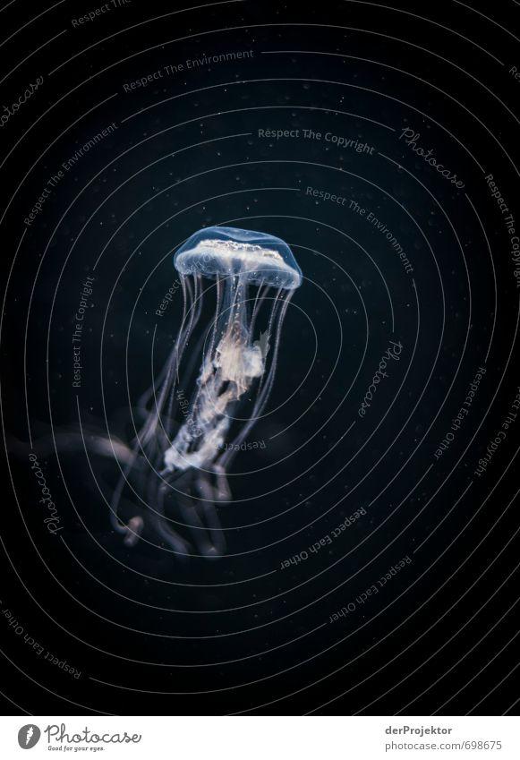 Eine aufstrebende Qualle Natur blau Meer Tier schwarz rosa authentisch ästhetisch nass bedrohlich niedlich Urelemente Lebewesen sportlich Ostsee Nordsee