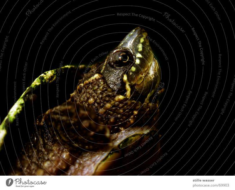 SCHILDKRÖTE Schildkröte Krallen Schnauze Reptil Wasserschildkröte gepanzert Scheune Auge Brustpanzer rückenpanzer