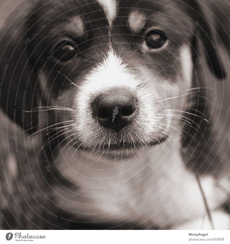 muddis puddi Hund Welpe Schnauze süß niedlich Sepia Schwarzweißfoto selektive schärfe Nase nahaufname.