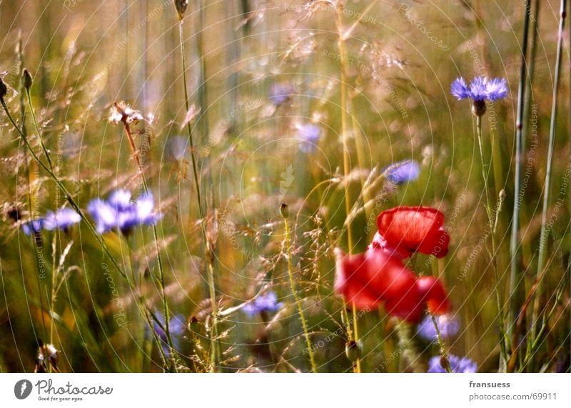 mohn allein auf weiter flur grün blau Pflanze rot Sommer Wiese Gras Freiheit Mohn