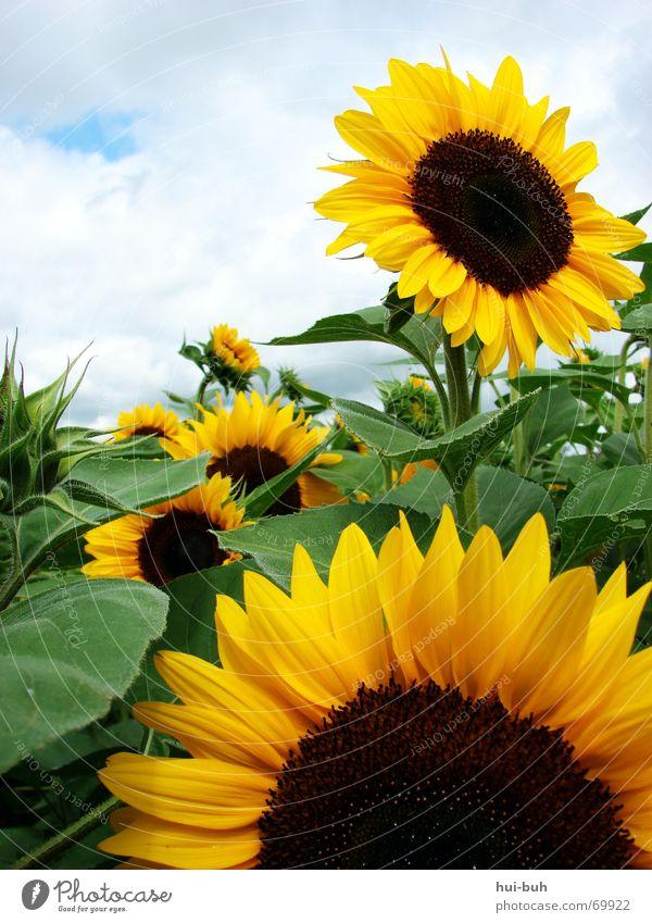sonnenblumenzusammenschluss schön Himmel Sonne Blume grün blau Freude Wolken Ernährung gelb Blüte Wärme braun Beleuchtung Kreis Macht