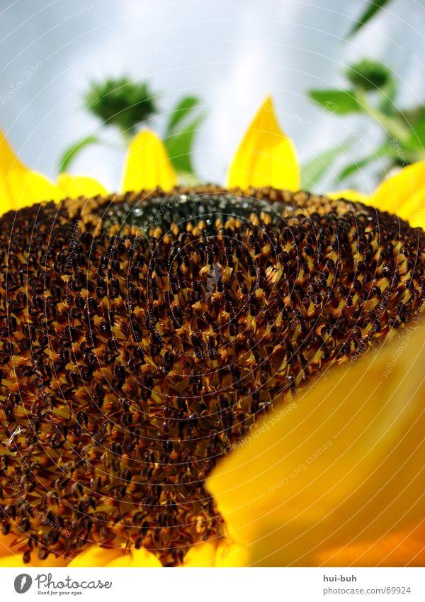 sonnenhügel Blume Sonnenblume Hügel groß braun Blüte Biene grün Pflanze Lebewesen lang stark Wolken Stempel bienchen Natur Himmel aufwärts resonant klingend