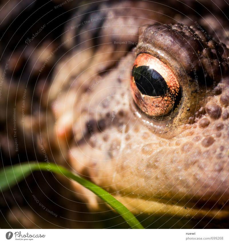 Küss! Mich! Garten Umwelt Natur Tier Frühling Sommer Klima Halm Wildtier Frosch Unke Kröte Tiergesicht Auge Maul Tierhaut 1 beobachten Küssen Blick dick