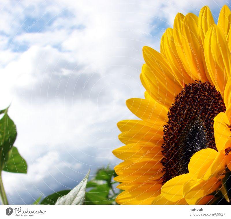 die blume `gen sonne Pflanze Blume Feld Sonnenblume Wolken schlechtes Wetter Blüte Biene grün Macht stark groß schön geschnitten Natur Himmel Samen Pollen