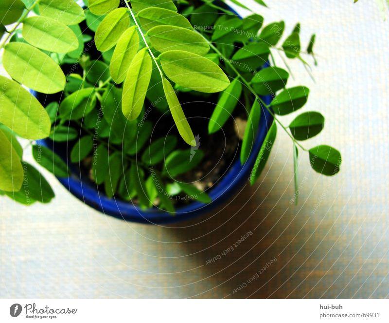 pflänzchen grün Blattgrün Untergrund Seychellen Pflanze Erde Topf Fensterbrett Licht Photosynthese Sauerstoff Luft Gesundheit atmen frisch Leben Sommer Natur