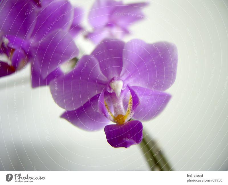 Orchidee Natur Blume Blüte violett Digitalfotografie