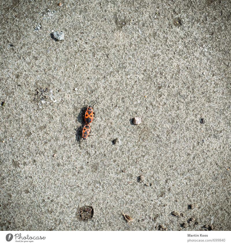 Big Bug Love Umwelt Natur Tier Erde Käfer Feuerkäfer 2 Tierpaar rot Gefühle Freude Frühlingsgefühle Liebe Tierliebe Begierde Sex Feindseligkeit Gewalt Asphalt