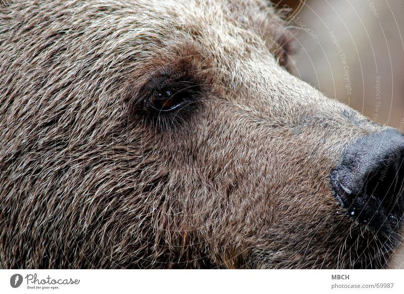 Augenblick Tier braun Nase groß gefährlich Wildtier Fell Wachsamkeit Bär Teddybär Schnurrhaar Barthaare Braunbär