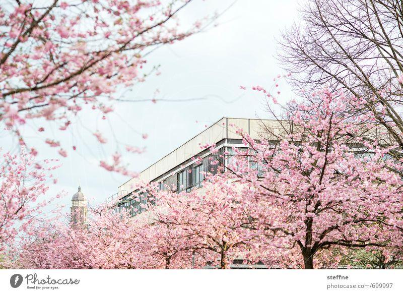 Kirchblüte schön Baum Frühling Blüte ästhetisch Schönes Wetter Blühend Kitsch Kirschblüten Zierkirsche