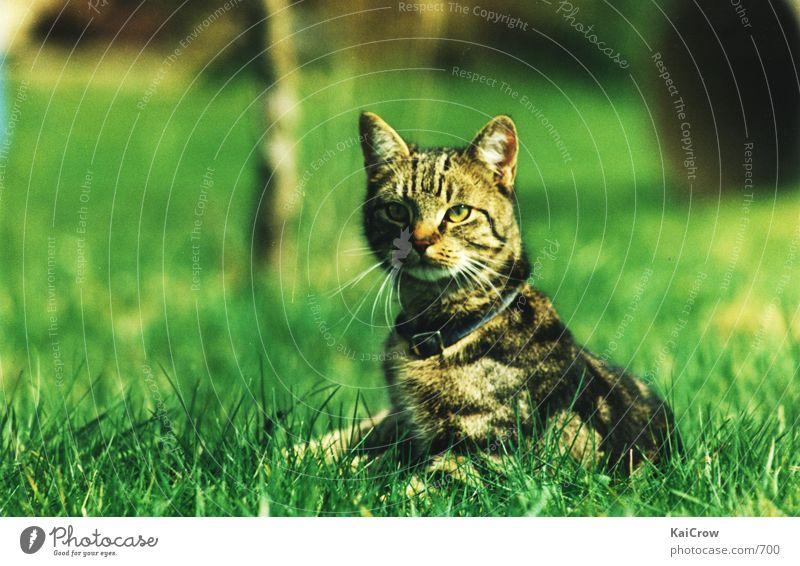 Mietzekatze Katze Hauskatze