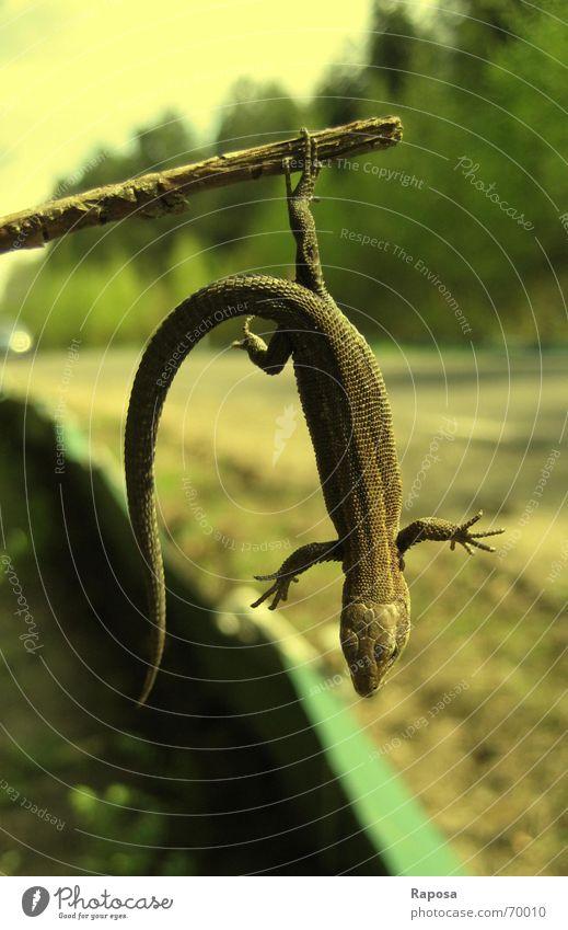 Egon, die Echse ... Baum Stock hängen Echte Eidechsen Echsen Waldeidechse Reptil gelb retten Natur Straße Erde krötenwanderungszaun schuppenkriechtiere Erholung