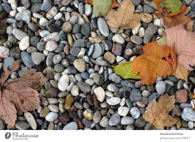 Herbst Blatt Kieselsteine Baum Ahorn Stein Bodenbelag