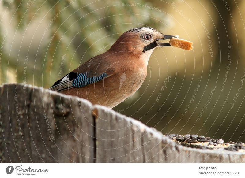 jay isst Brot Essen schön Garten Umwelt Natur Tier Baum Park Wald Vogel wild blau braun schwarz weiß Farbe Eichelhäher Garrulus glandarius Tierwelt Lebensmittel