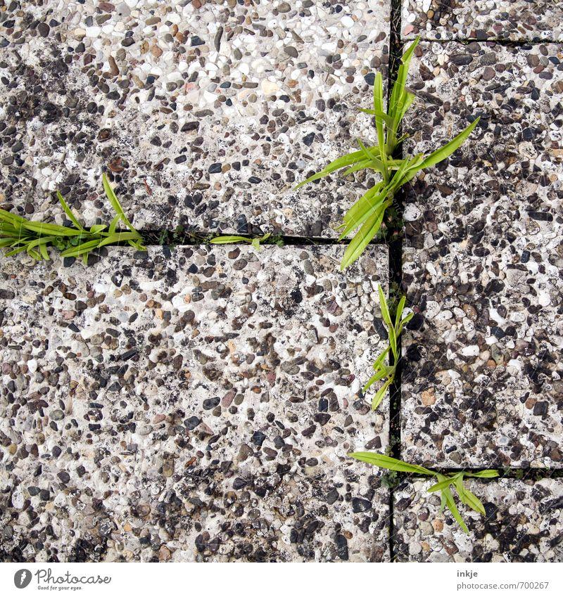 Frühlingsboten auf Umwegen Natur Pflanze Blume Gras Blatt Lilien Garten Menschenleer Terrasse Beton Linie Wachstum klein natürlich stark unten Stadt wild