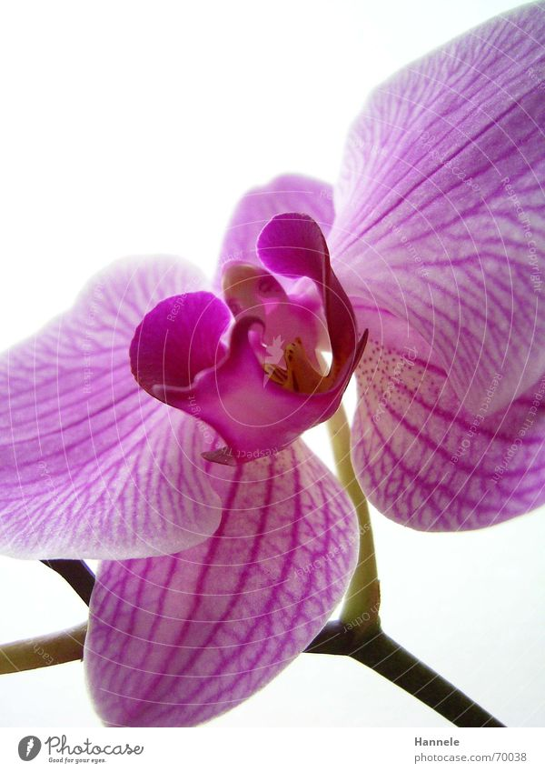 orchidäles bunt 3 Natur Blume Pflanze Blüte hell 2 rosa Asien zart Blühend Orchidee zerbrechlich