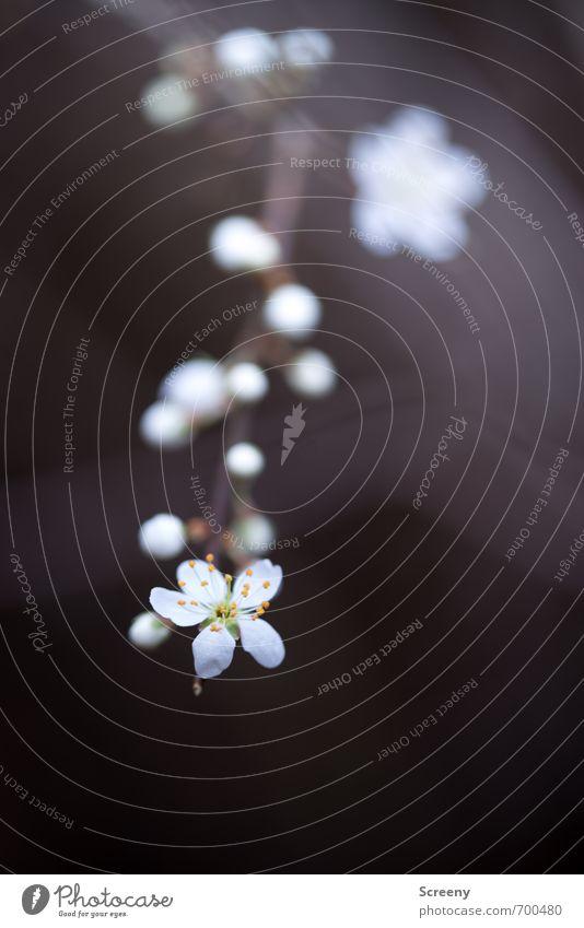 Nach Vorn... Natur weiß Pflanze Blume Wald Frühling Blüte braun Park Wachstum ästhetisch Blühend Duft Blütenknospen Stolz eitel