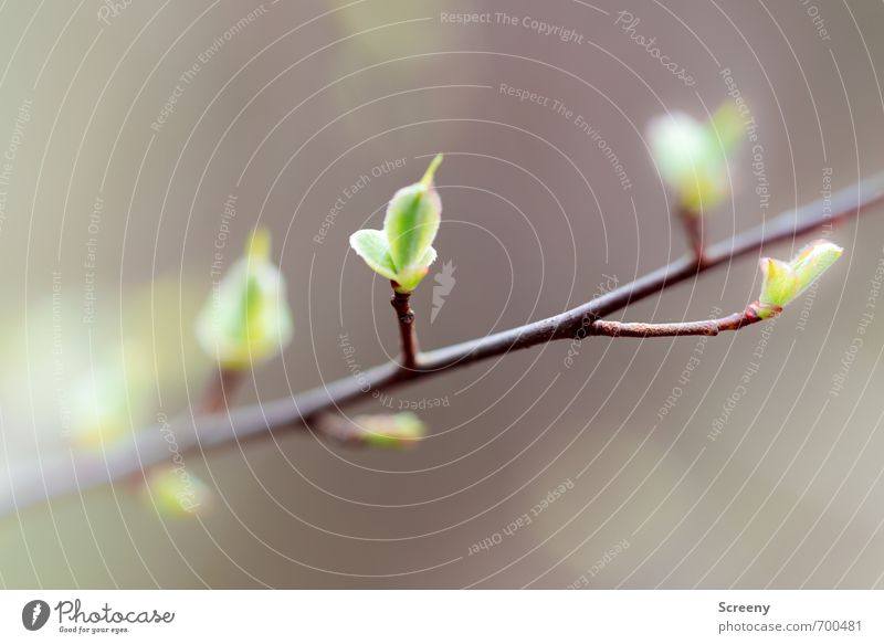 Stück für Stück Natur grün Pflanze ruhig Blatt Frühling natürlich braun Kraft Wachstum Erfolg Ast Gelassenheit Blütenknospen geduldig Entschlossenheit