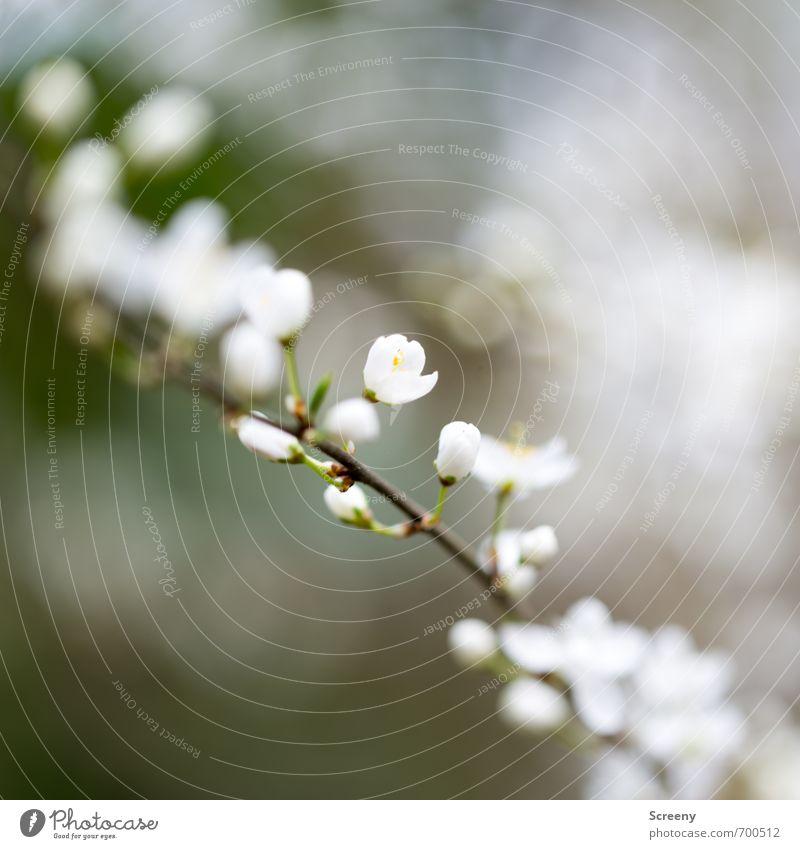 Blütenrausch Natur Pflanze Frühling Sträucher Ast Park Wald Blühend Duft Wachstum braun gelb grün weiß Frühlingsgefühle Farbfoto Außenaufnahme Makroaufnahme