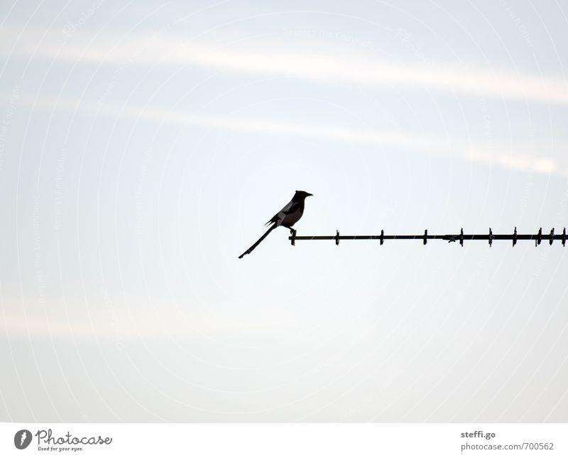es folgt: ein Rückwärtssalto gehockt Himmel ruhig Tier Vogel elegant Kraft Zufriedenheit Wildtier hoch ästhetisch beobachten Gelassenheit Mut selbstbewußt Stolz