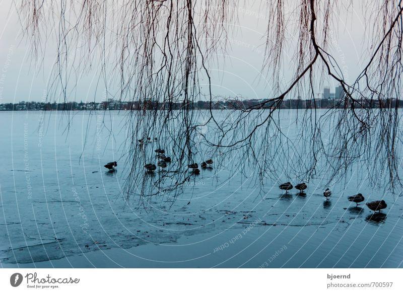 Eiskalte Enten Natur blau Wasser Baum Einsamkeit Landschaft Tier Winter Schwimmen & Baden Deutschland Vogel stehen Tiergruppe Hamburg