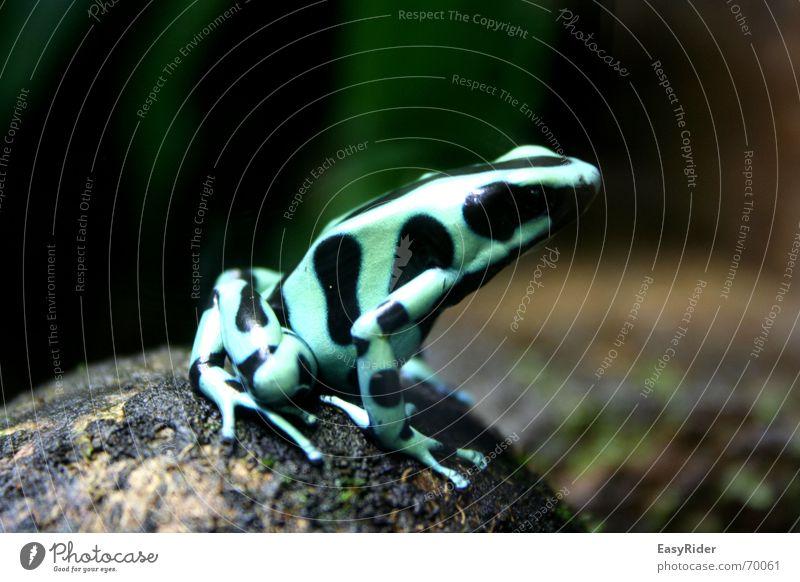 Auf dem Sprung springen Zoo Urwald Frosch Zürich Tier Pfeilgiftfrosch Baumsteiger Frosch
