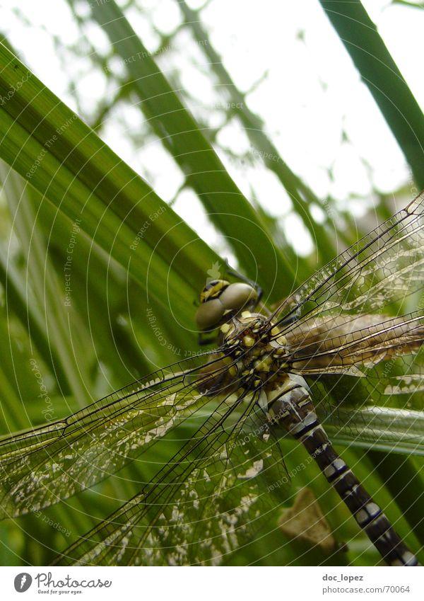 perfektes Fliegen (kurz davor) Libelle grün Schilfrohr Gras Insekt Hubschrauber Glubschauge zerbrechlich neugeboren ausrutschen Teich Dieb braun grau Chitin