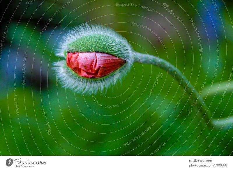 Eine Knospe öffnet sich Natur schön grün Pflanze Sommer Einsamkeit rot Blume Blüte natürlich Garten Stimmung authentisch ästhetisch Wandel & Veränderung