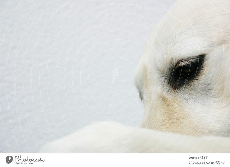 mensch im tier 2 Tier Hund weiß Stimmung Denken Menschlichkeit retriever Blick