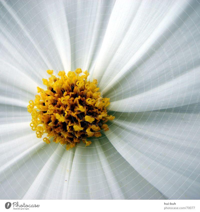 lovely elegant schön Blüte Blume gelb weiß Pflanze Sommer Frühling Kraft Gruß Quadrat lieblich Macht stark fein klein zart zerbrechlich Natur flower Freiheit