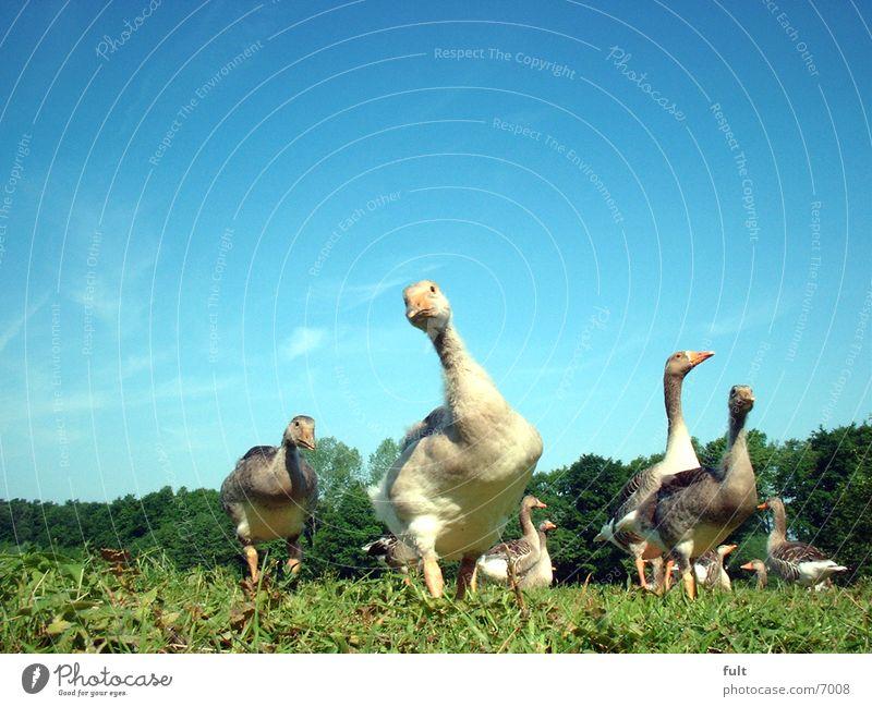 Invasion der Gänse Himmel Gras Vogel Gans