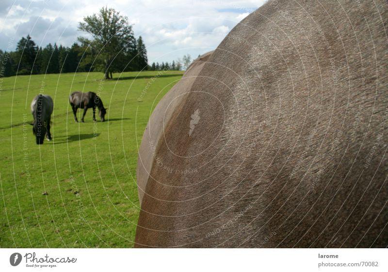 auf der Alm Natur Tier Landschaft Ernährung Gras Freiheit Pferd Fressen Nutztier Alm Kaltblut