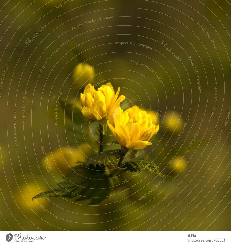 Flumpenbaum Natur Pflanze Frühling Schönes Wetter Blume Sträucher Blatt Blüte Garten Park Blühend Duft Wachstum ästhetisch schön klein braun gelb grün