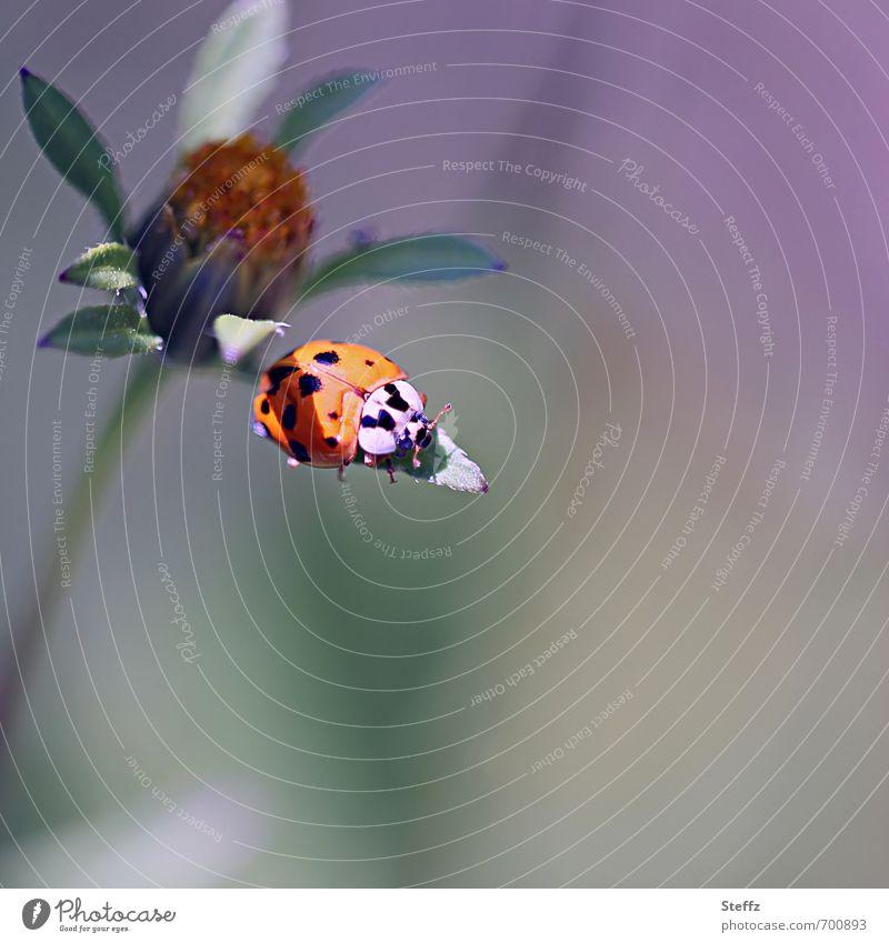 Sonnenbad auf einem Blatt im Spätsommer Glücksbringer Glückskäfer Glückssymbol Marienkäfer leicht Leichtigkeit Käfer Gelassenheit ruhig friedlich harmonisch