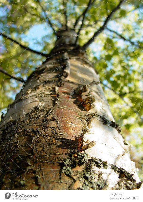 Baumblick Birke Blatt Baumrinde weiß grün Koloss Borkenkäfer Wald Unendlichkeit Photosynthese Perspektive hochgucken Ast Strukturen & Formen Natur blau