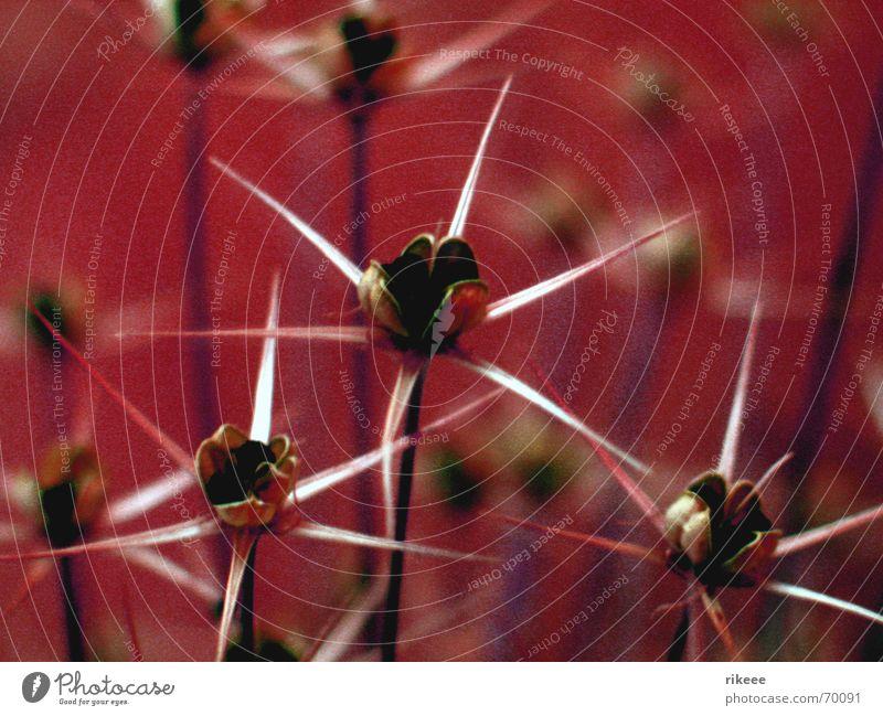 Stars im Blumenbeet Natur Pflanze rot Stern (Symbol) Blütenknospen Stachel Trockenblume