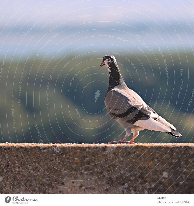 Taube mit Aussicht Umwelt Natur Landschaft Sonnenlicht Sommer Schönes Wetter Tier Vogel beobachten Blick ruhig Mauerstreifen überblicken Überblick Farbfoto